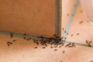 Black Ants Exterminate Pest Spray
