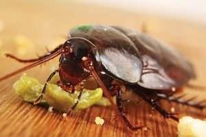 cockroaches control albury